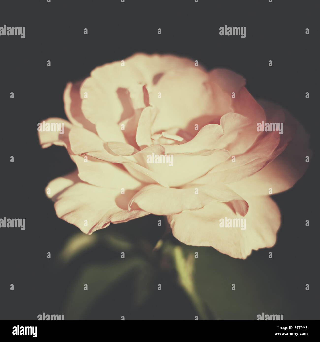Retro Flower Vintage Floral Backgrounds With Pink Rose Stock Photo