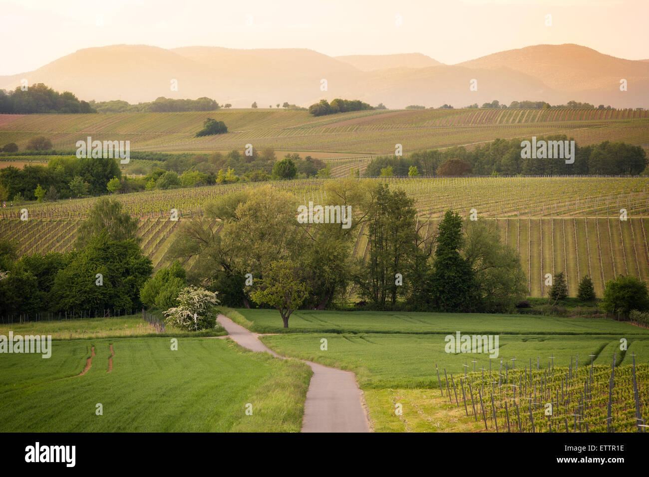 Path in vineyards in Pfalz at sunset, Germany Stock Photo