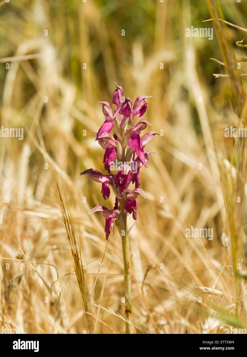 Holy Orchid on Lesvos - Stock Image