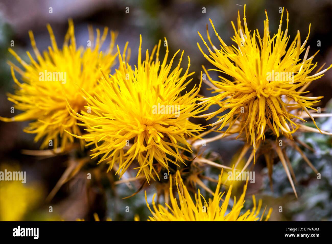Yellow Cornflower Stock Photos Yellow Cornflower Stock Images Alamy