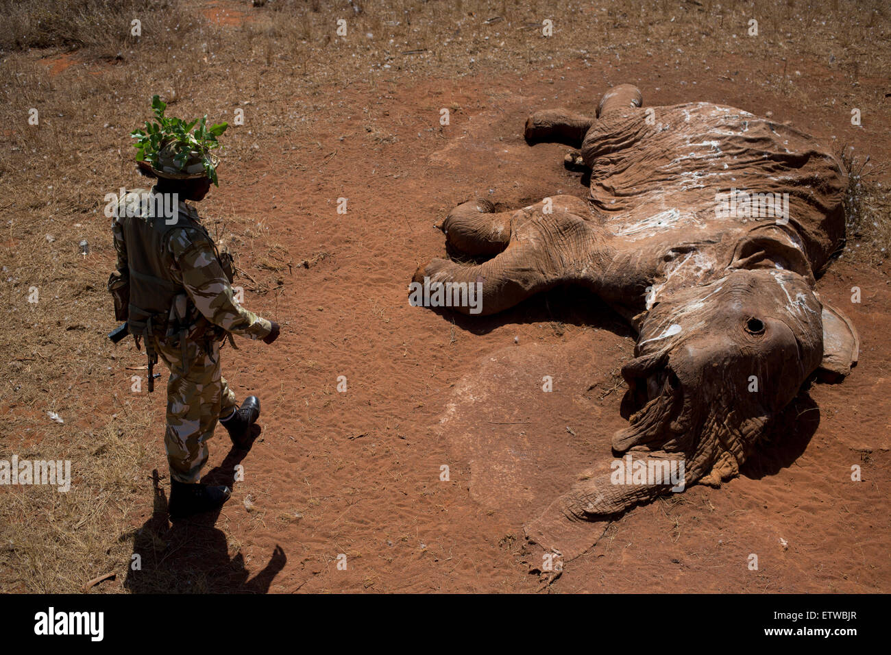 Kenya Wildlife Ranger Sgt. Benson Epae from the anti poaching unit look at an elephant that was killed by poachers - Stock Image