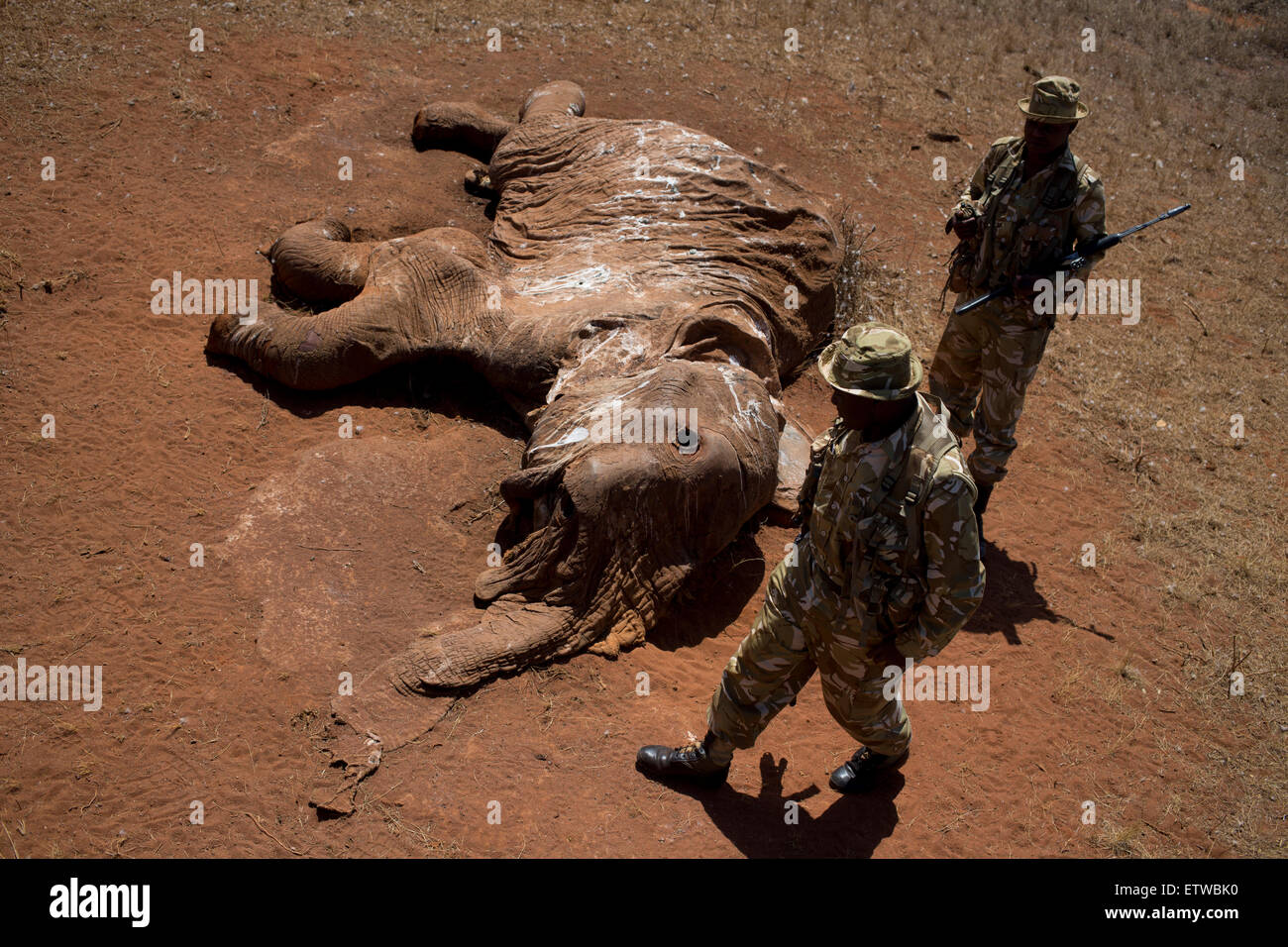 Kenya Wildlife Rangers from the anti poaching unit look at an elephant that was killed by poachers with a poison - Stock Image