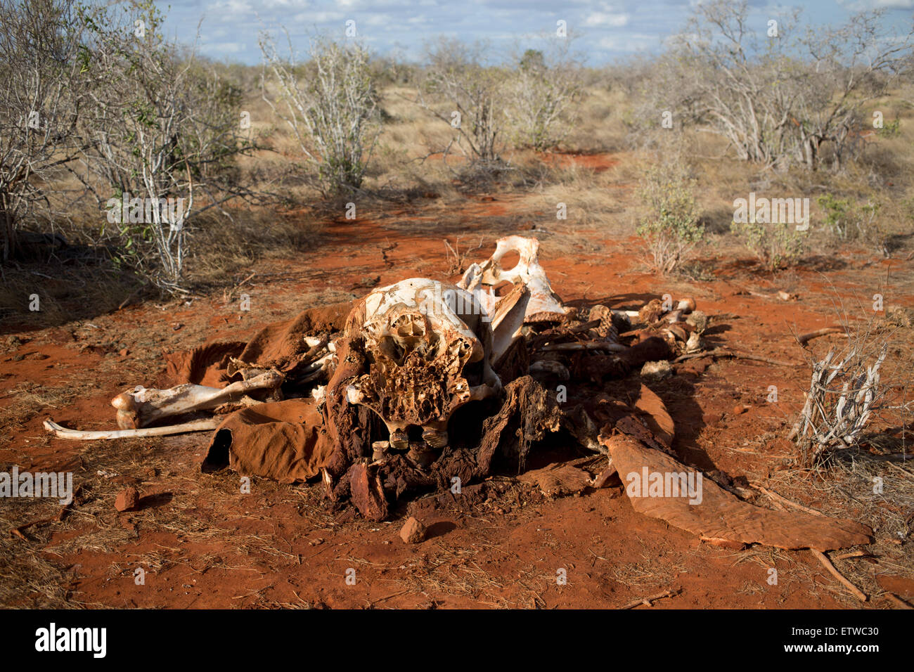 The remains of an elephant that was killed by poachers with a machine gun around four weeks ago in the Tsavo East - Stock Image