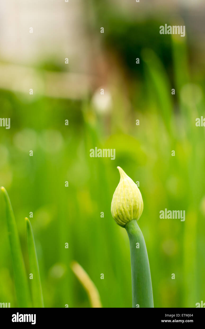 Single green Onion stalk bolting turning innd growing a seed head in a village garden Stock Photo