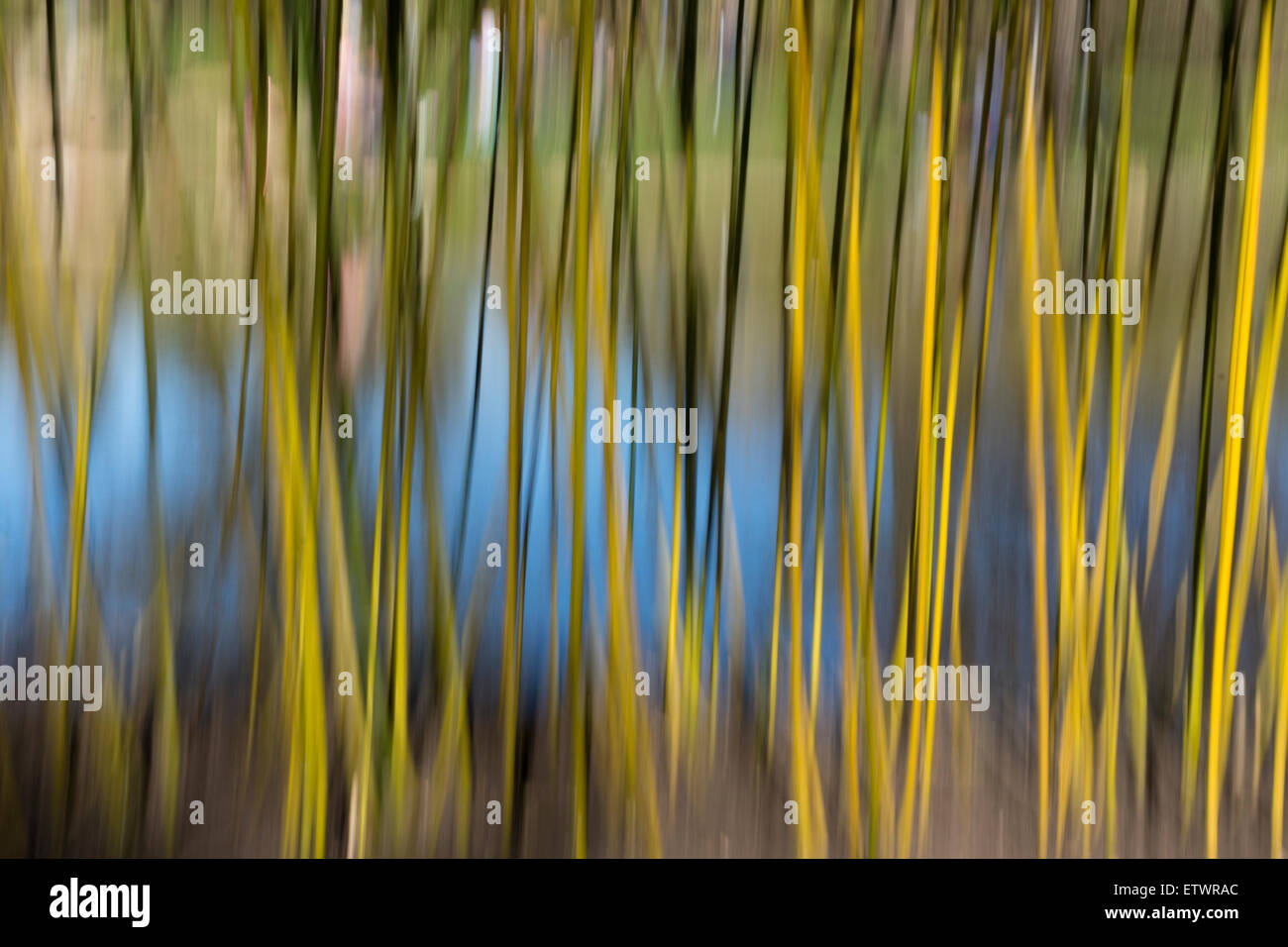Abstract made from in-camera motion blur on bamboo plants and water - Stock Image