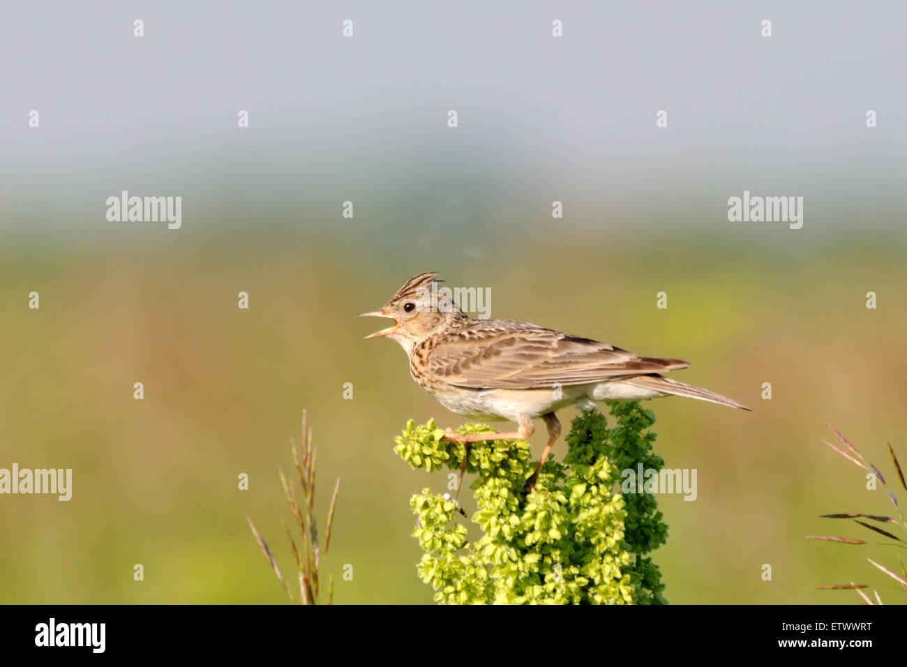 Eurasian Skylark in the field near Moscow, Russia - Stock Image
