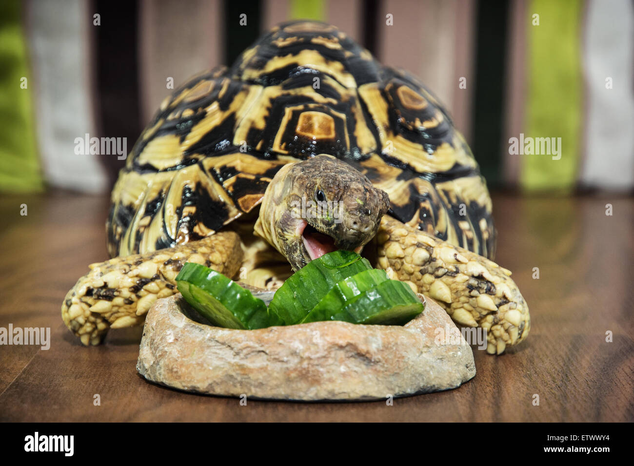 Leopard tortoise (Geochelone pardalis) eating cucumber. Animal theme. - Stock Image