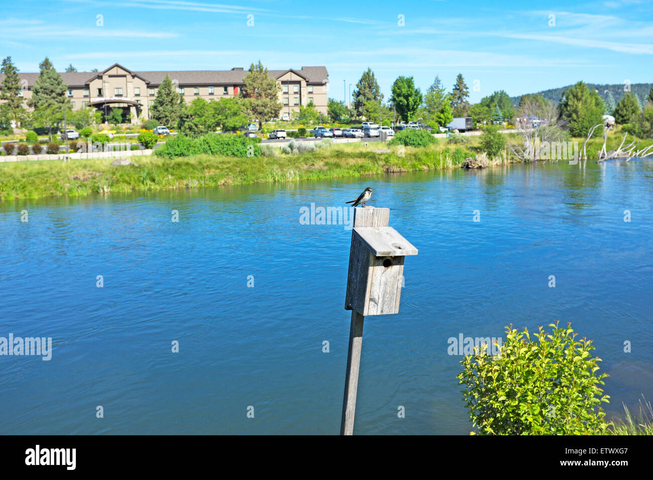 A martin sits atop a birdhouse with its nest inside along the Deschutes River in Bend, Oregon. - Stock Image