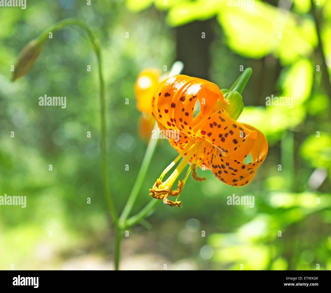 A leopard lily,  Lilium pardalinum, a wildflower common to Oregon and the Pacific Northwest - Stock Image