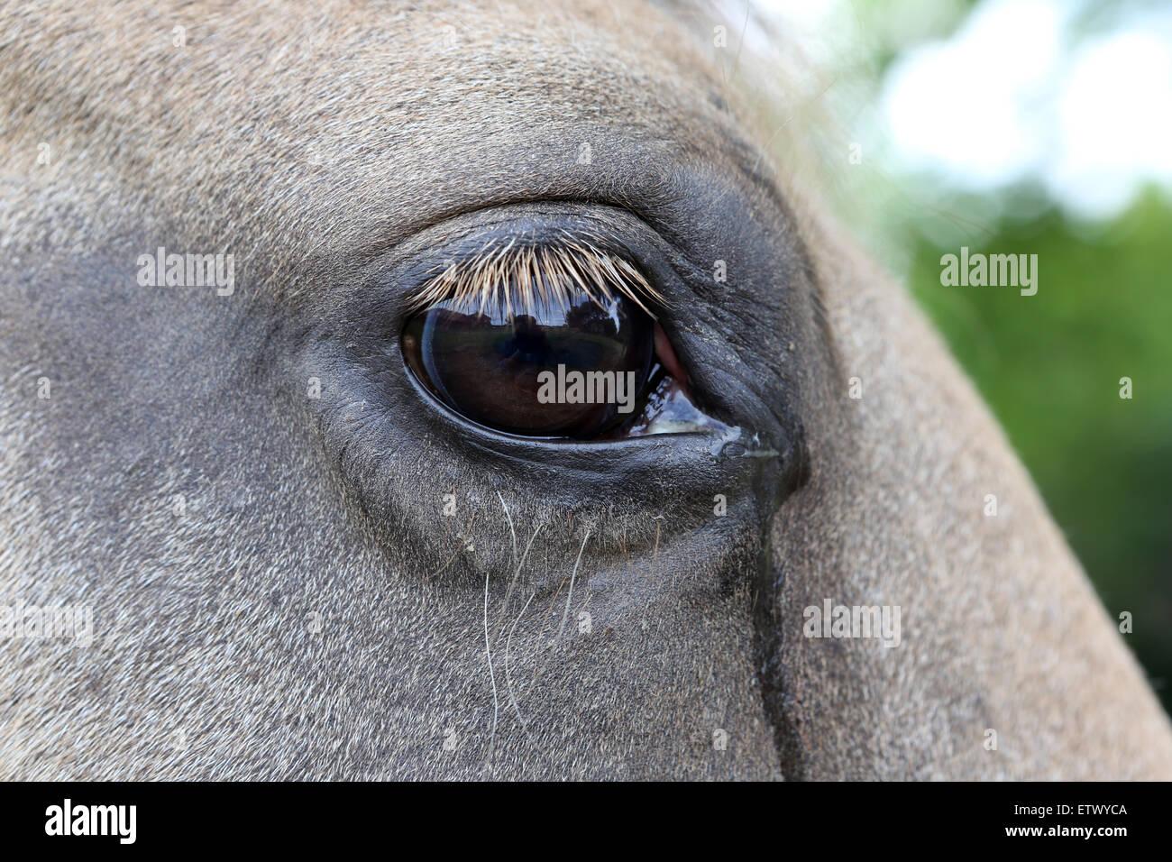 Werl, Germany, Bleeding Eye of a horse - Stock Image