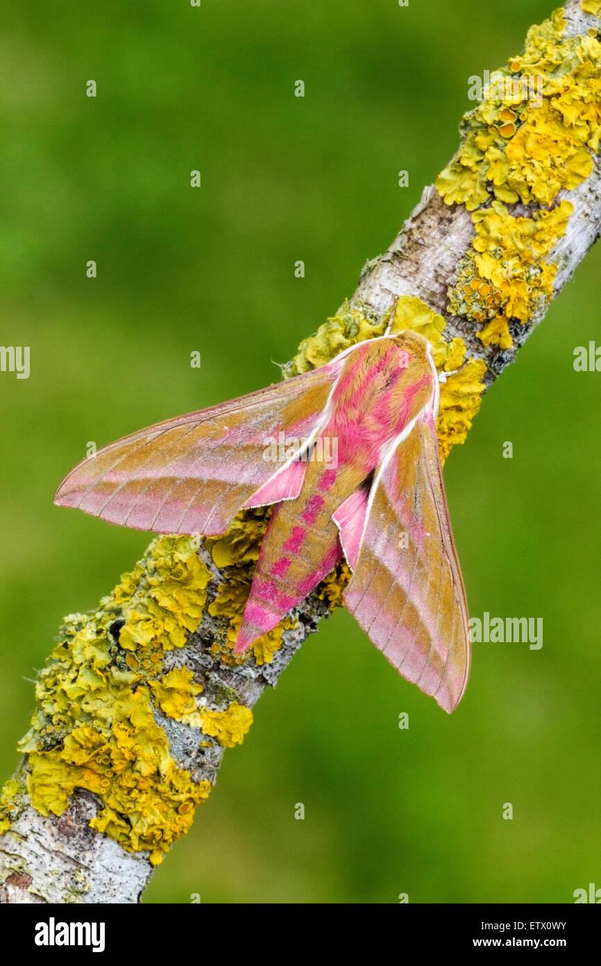 Elephant Hawk-moth (Deilephila elpenor) adult insect resting on Xanthoria lichen-covered twig, Norfolk, England, - Stock Image