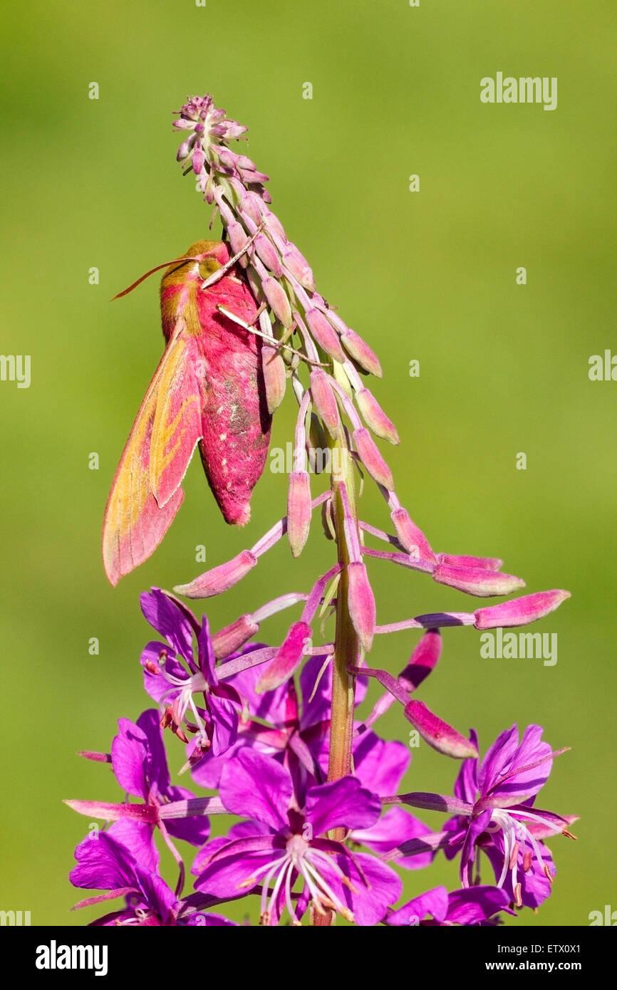 Elephant Hawk-moth (Deilephila elpenor) adult insect resting on Rosebay Willowherb (Chamerion angustifolium), Norfolk, - Stock Image