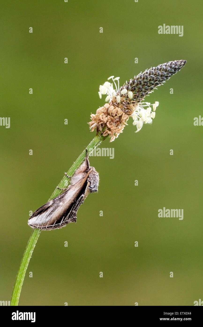 lesser swallow prominent moth (Pheosia gnoma) adult resting on ribwort plantain (Plantago lanceolata), Norfolk, - Stock Image