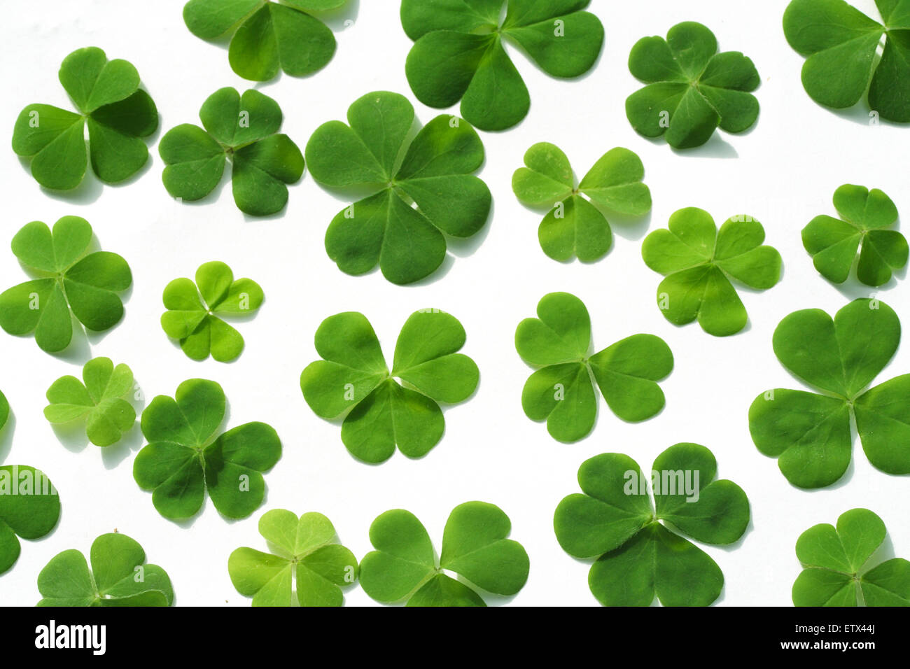 Shamrock Three Leaf Clovers Isolated On White Background Stock