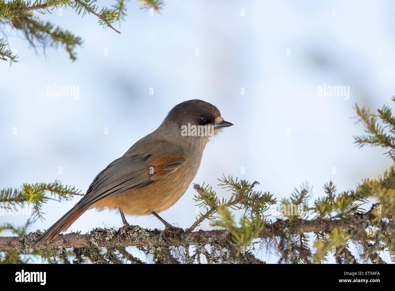 Siberian Jay, Perisoreus infaustus sitting  in a spruce in Nilivaara in Swedish Lapland - Stock Image