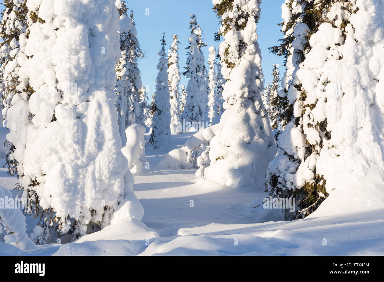 Winter landscape with snowy spruces on mount Hirvas in february in Gällivare in swedish lapland - Stock Image