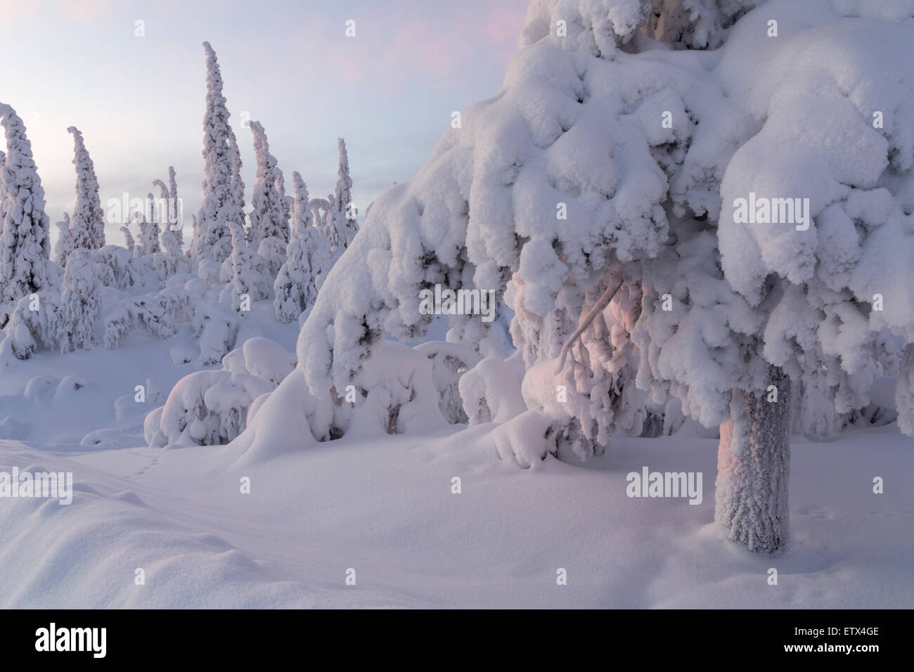 Snow on trees in winter lanscape in Swedish lapland - Stock Image