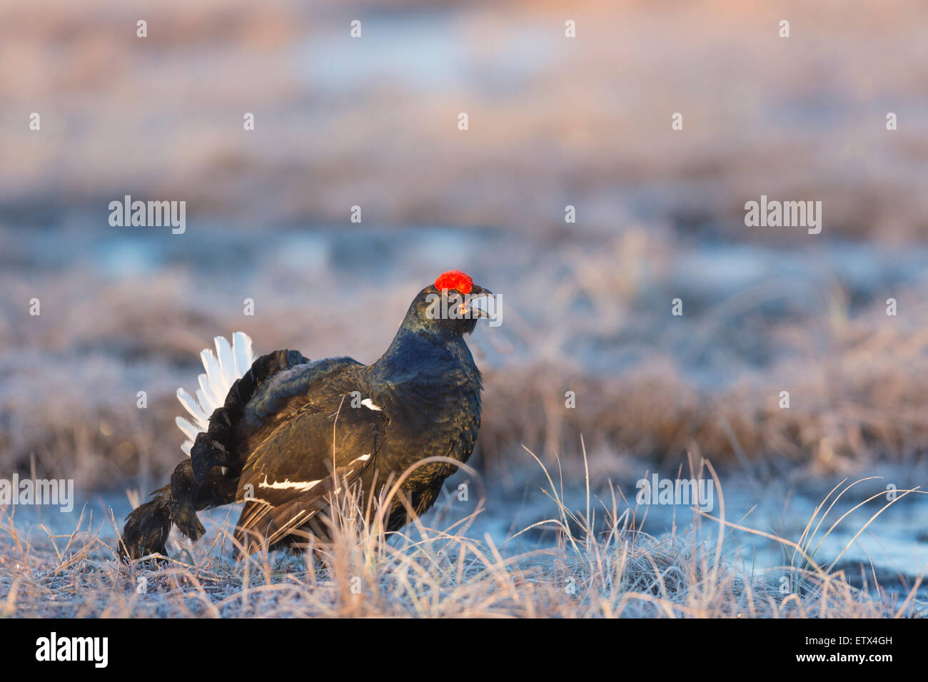 A close up photo of Black grouse, Lyrurus tetrix, blackcock courtship display in Boden, norrbotten, Sweden - Stock Image