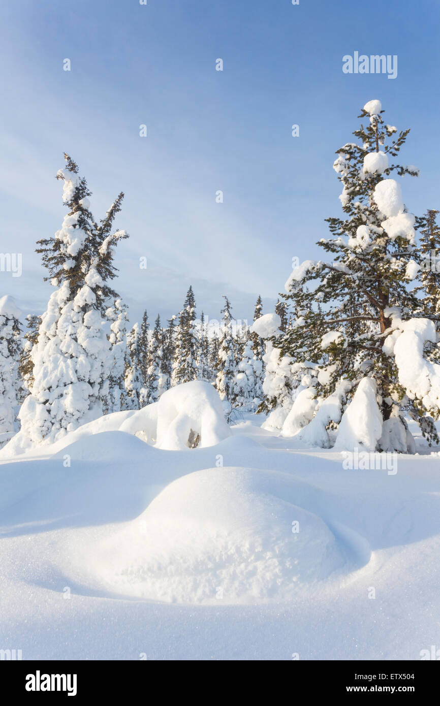 Winter landscape with snowy pine trees and spruces in Nilivaara, Swedish Lapland - Stock Image