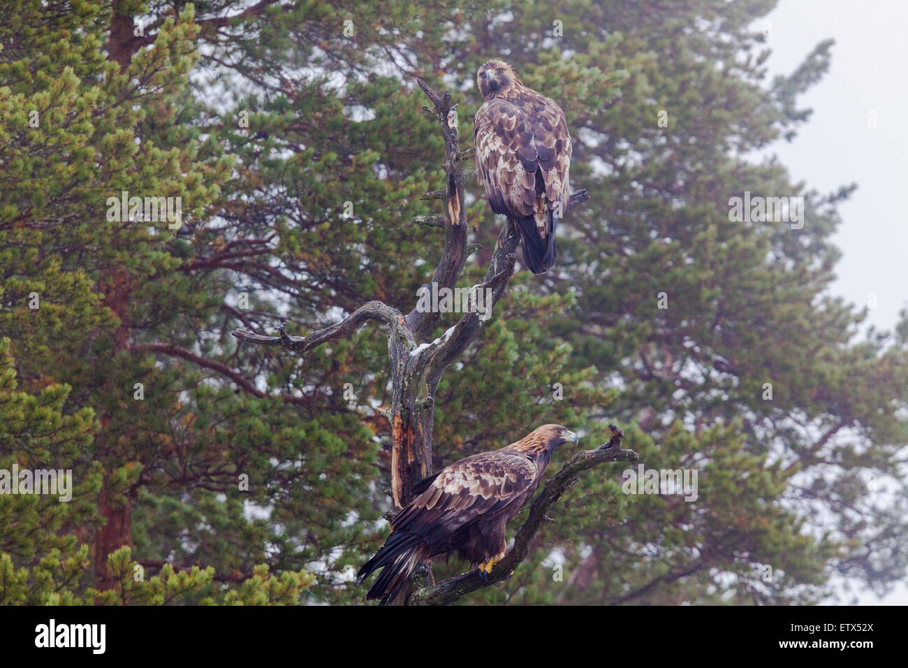 Golden eagles sitting in an old tree with juniper trees in background in sweden, Scandinavia - Stock Image