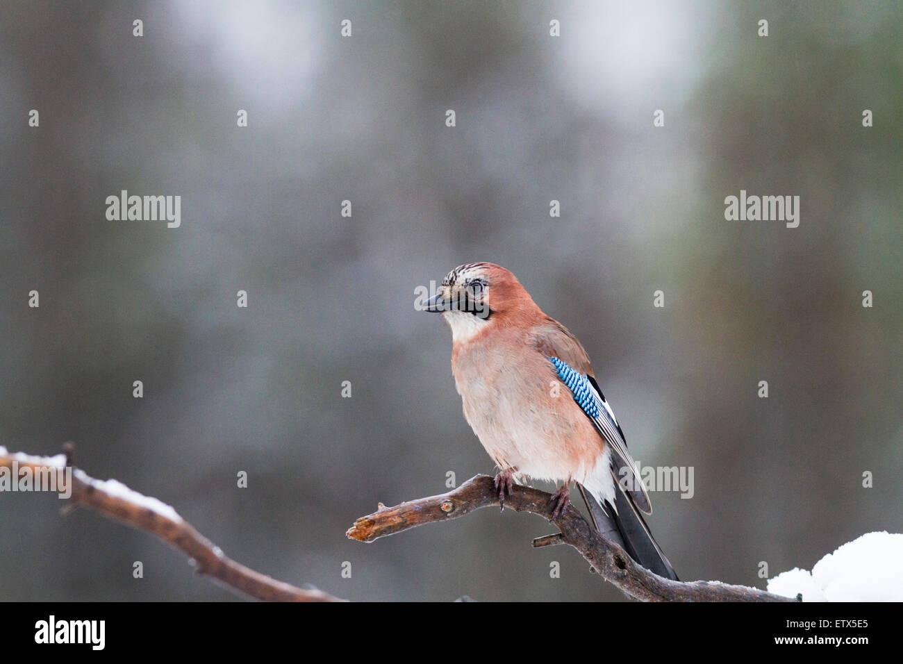 Eurasian Jay , sitting in a juniper tree with snow on the branch in Sweden - Stock Image