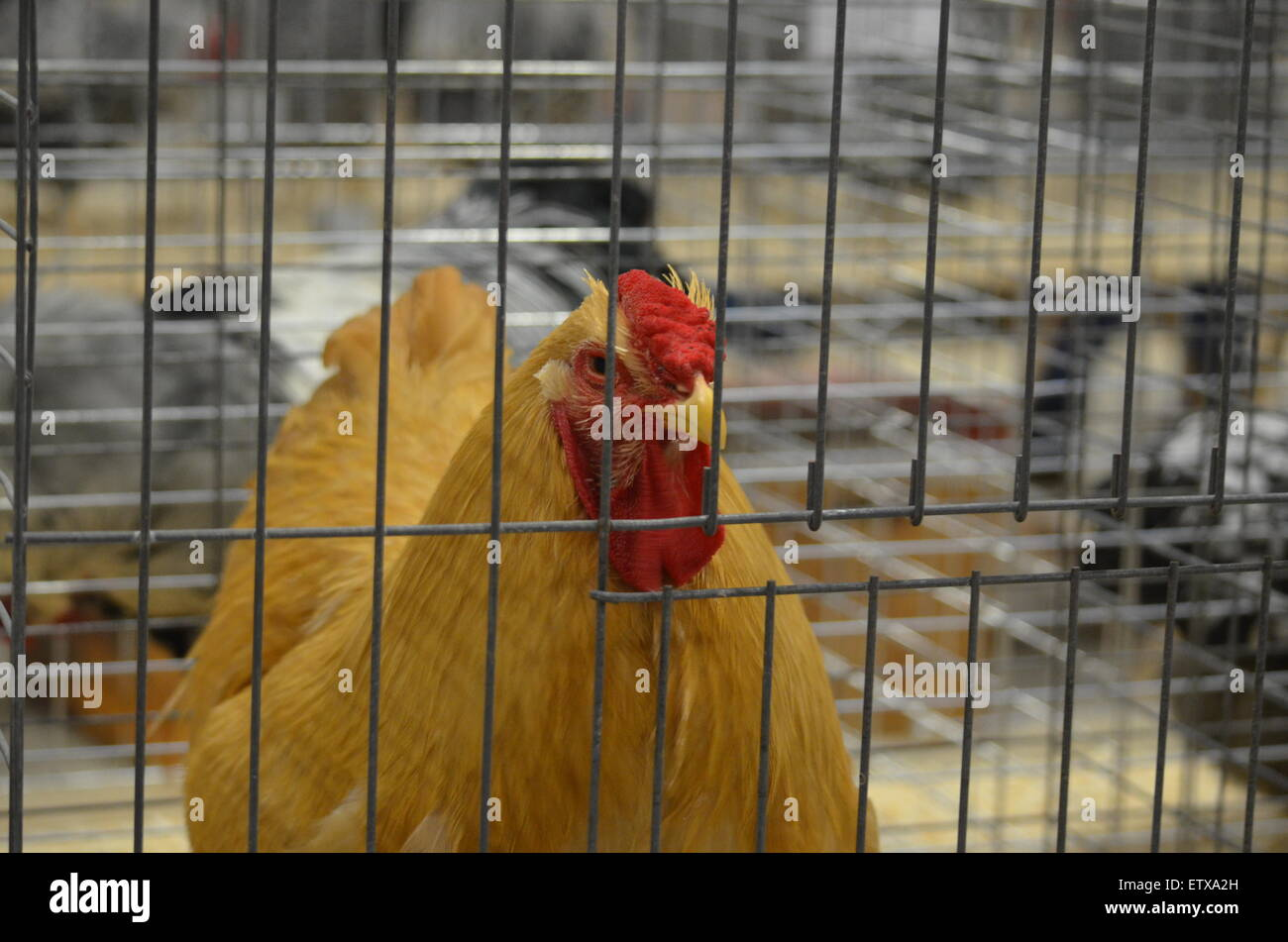 Chicken Show Stock Photos & Chicken Show Stock Images - Alamy