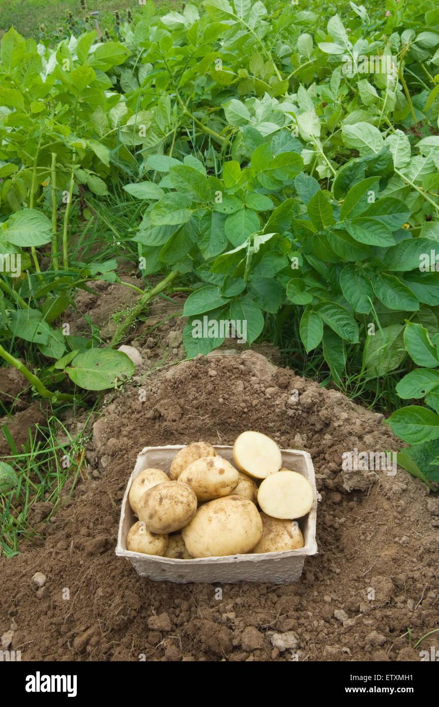 Crop of freshly dug potatoes beside potato plants. - Stock Image