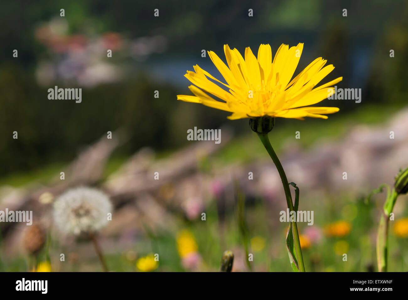 Dandelion flower on mountain Jaegerkamp in the Alps in Bavaria, Germany - Stock Image