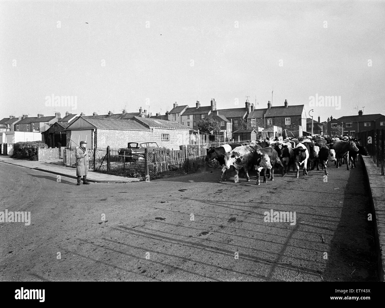 Cattle are driven to market in Banbury, Oxfordshire. 17th May 1968. - Stock Image