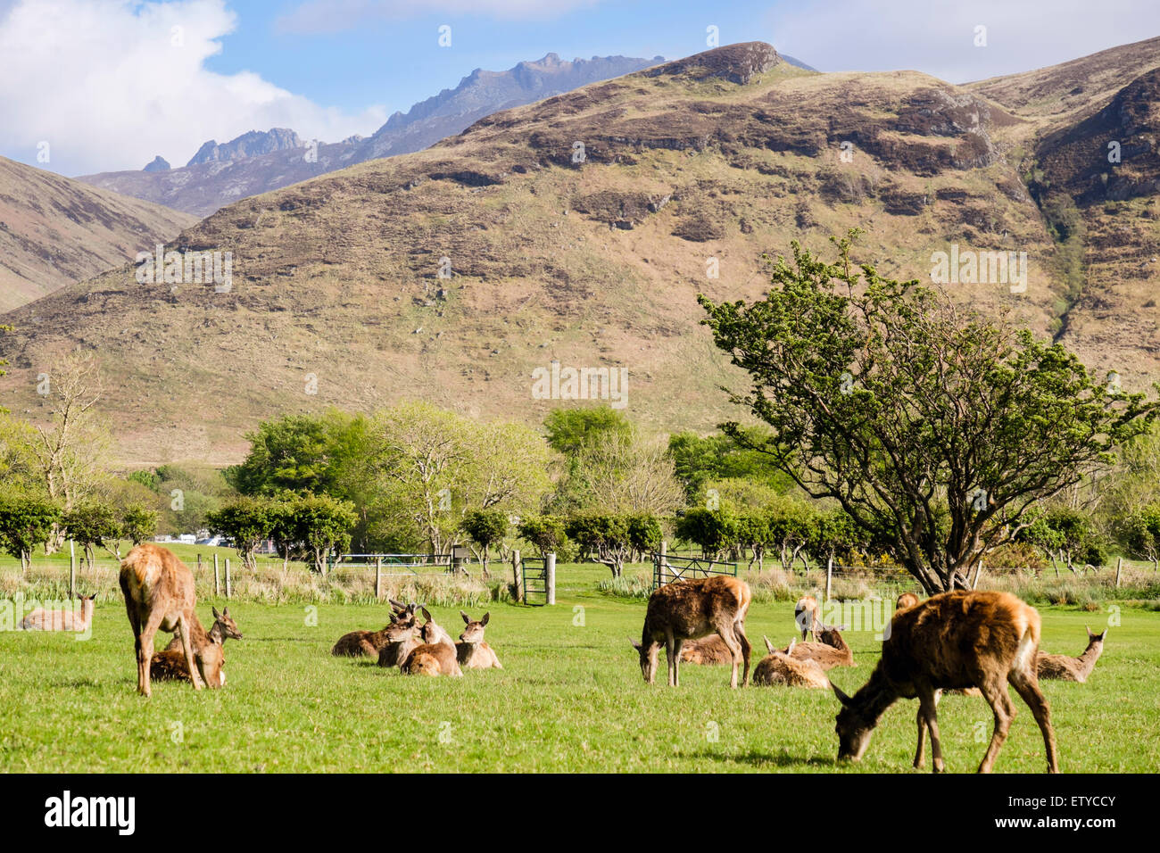 Scottish Red deer hinds (Cervus elaphus) grazing on golf course in valley. Lochranza Isle of Arran Western Isles - Stock Image