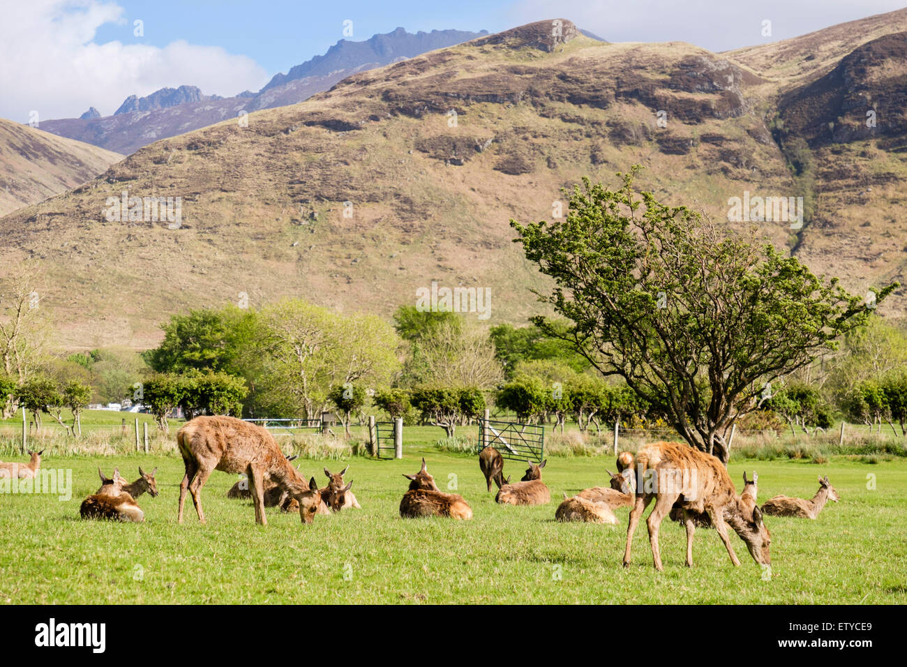 Red deer hinds (Cervus elaphus) grazing on golf course in valley. Lochranza Isle of Arran Western Isles  Scotland - Stock Image