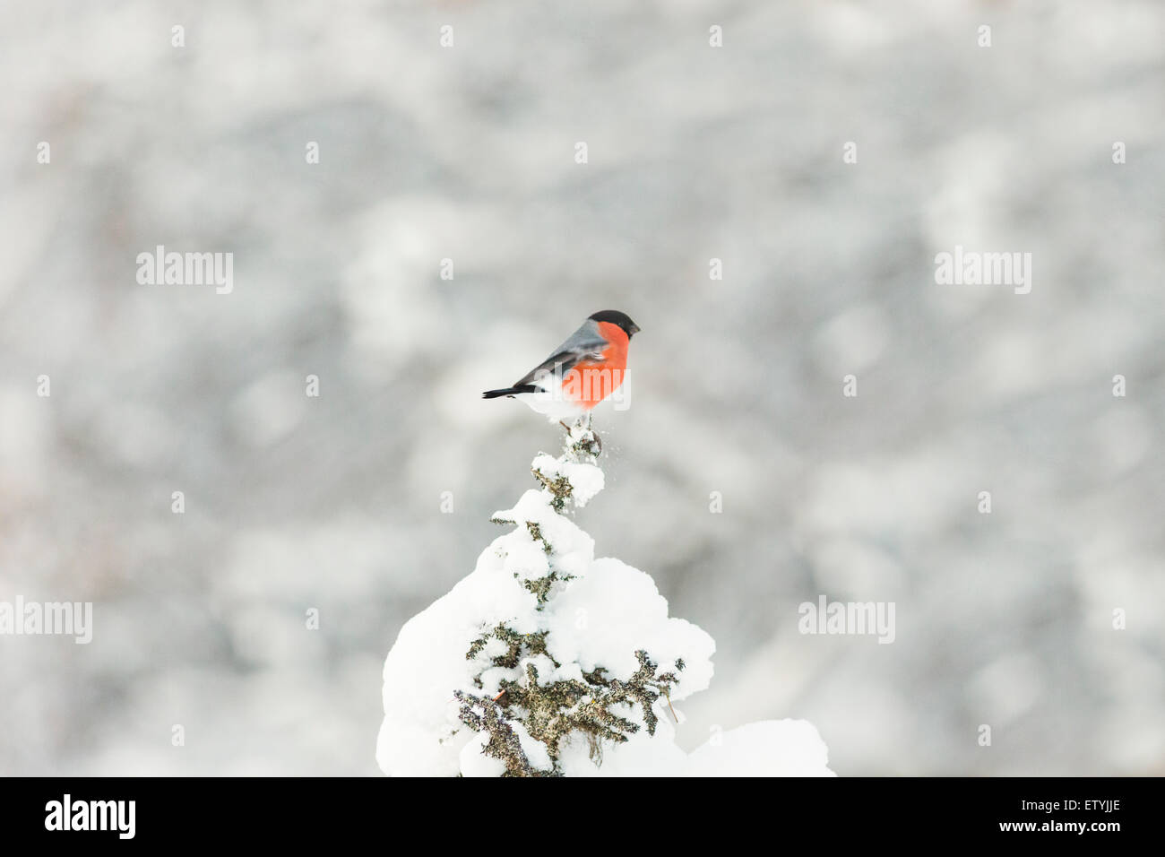 Eurasian Bullfinch sitting in top of a snowy spruce in gällivare, Swedish lapland, Scandinavia Stock Photo
