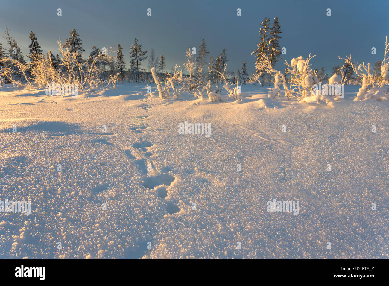 Winter landscape with rabbit tracks in the snow in Gällivare, Swedish lapland, Sweden, Scandinavia - Stock Image
