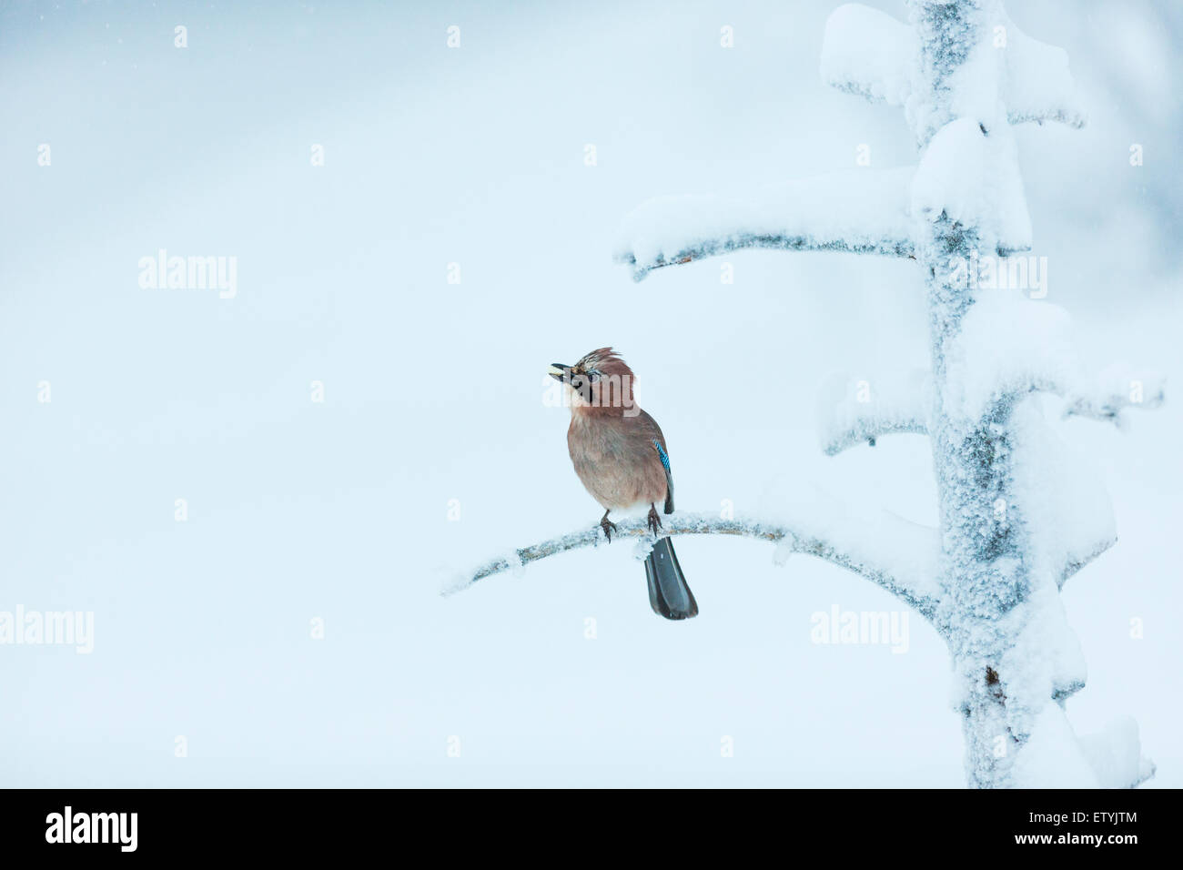 Eurasian Jay, Garrulus glandarius, sitting in a frosty and snowy old tree, looks like he is singing - Stock Image
