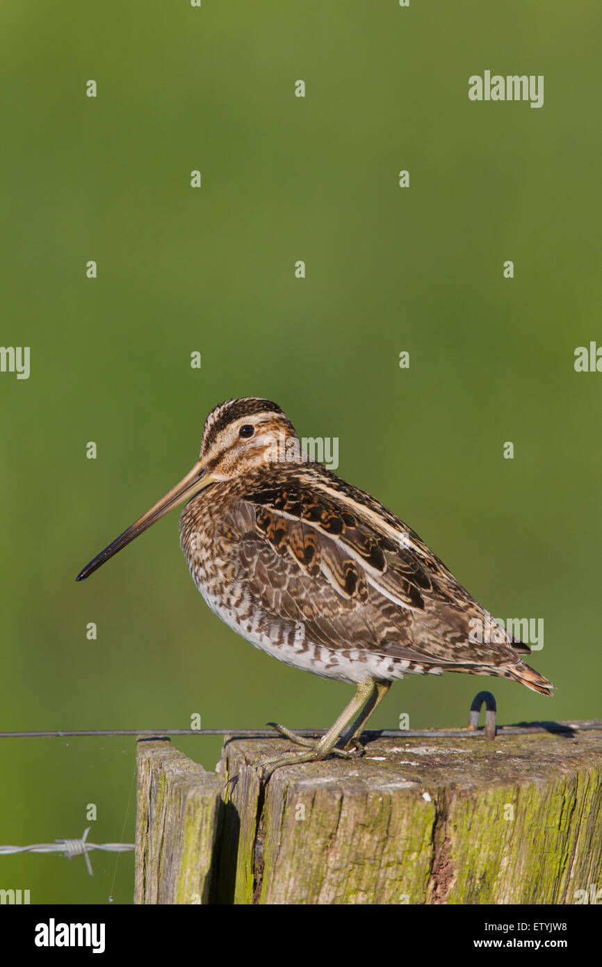 Common snipe (Gallinago gallinago) perched on fence post Stock Photo