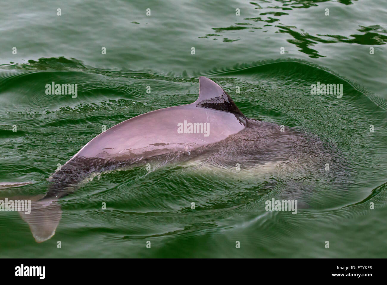 Harbour porpoise (Phocoena phocoena) surfacing and showing triangular dorsal fin - Stock Image
