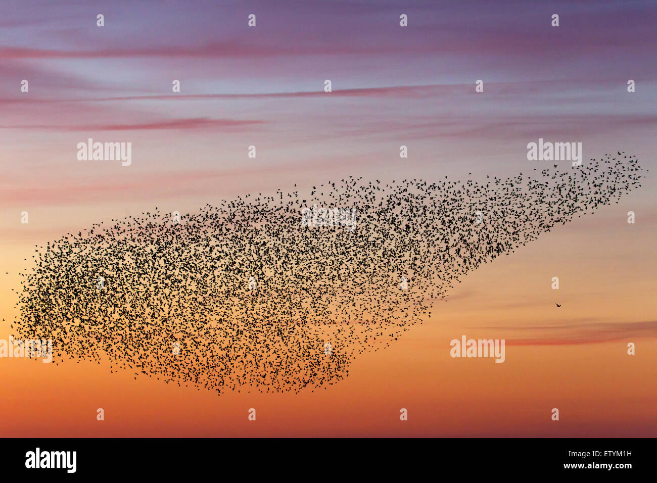 European starling murmuration / large flock of common starlings (Sturnus vulgaris) and bird of prey in flight at - Stock Image