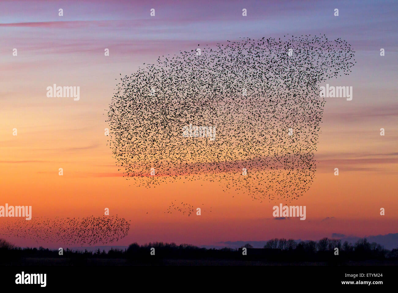 European starling murmuration / large flock of common starlings (Sturnus vulgaris) in flight at sunset - Stock Image