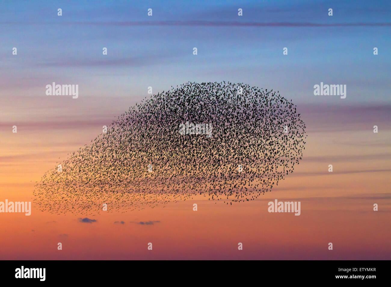 European starling murmuration / large flock of common starlings (Sturnus vulgaris) in flight at sunset - Stock Image