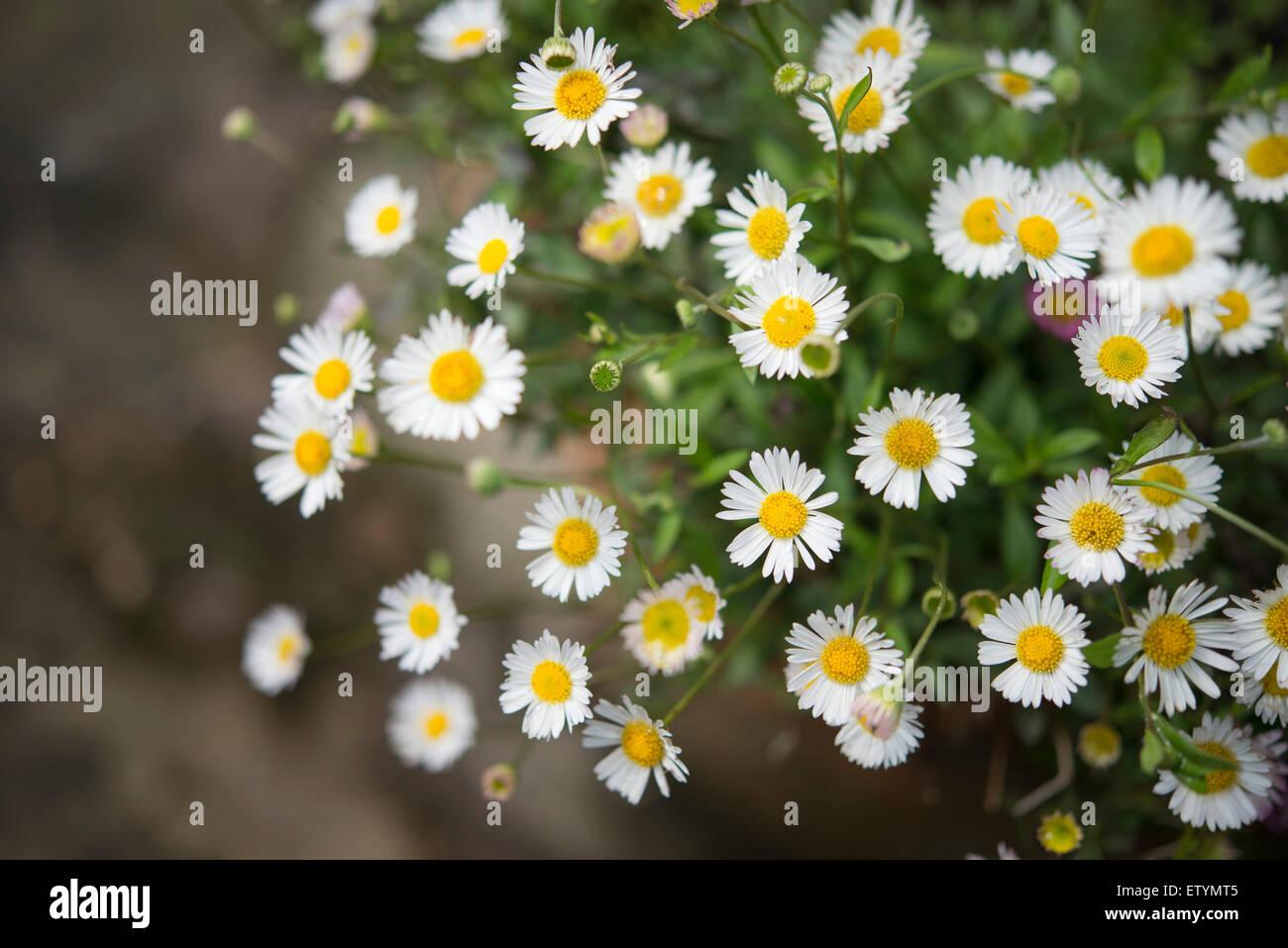 Daisy Like Flowers Of Fleabane Stock Photos Daisy Like Flowers Of