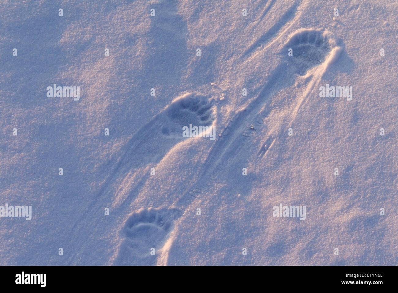 Polar bear (Ursus maritimus / Thalarctos maritimus) tracks in the snow - Stock Image