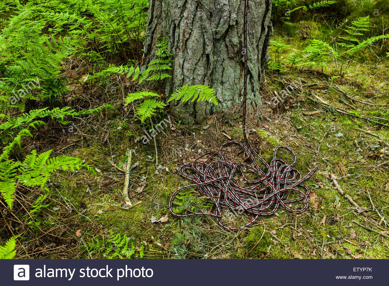 A climbing rope at the foot of a tree. - Stock Image