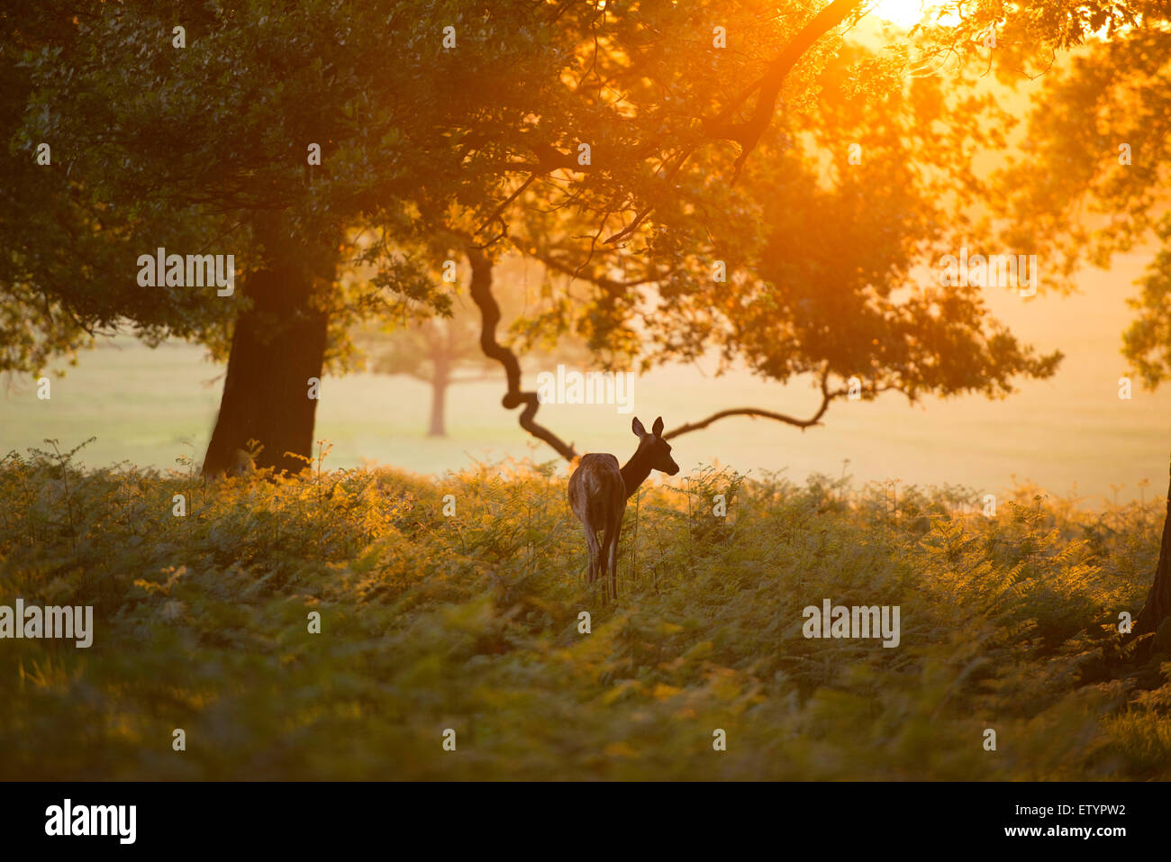 A red deer doe on an early Summer morning in the Richmond Park. - Stock Image