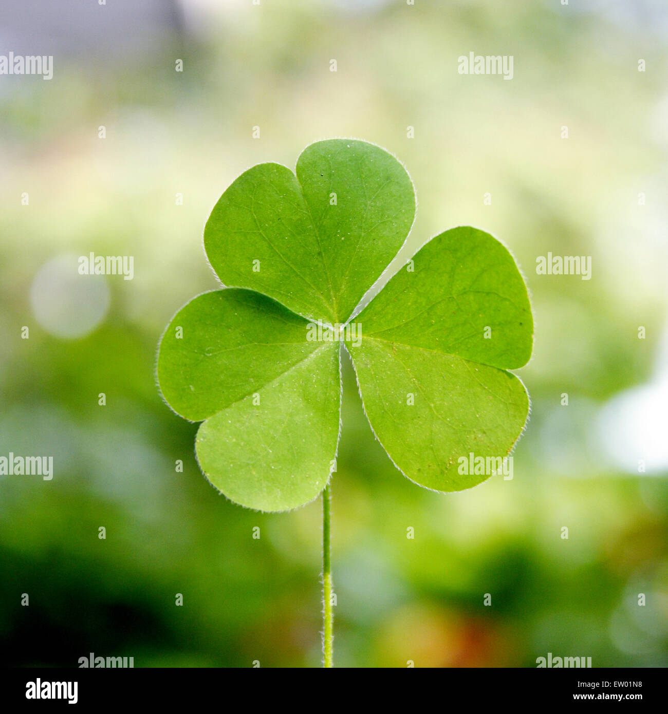 Shamrock Three Leaf Clover Against Green Background Stock Photo