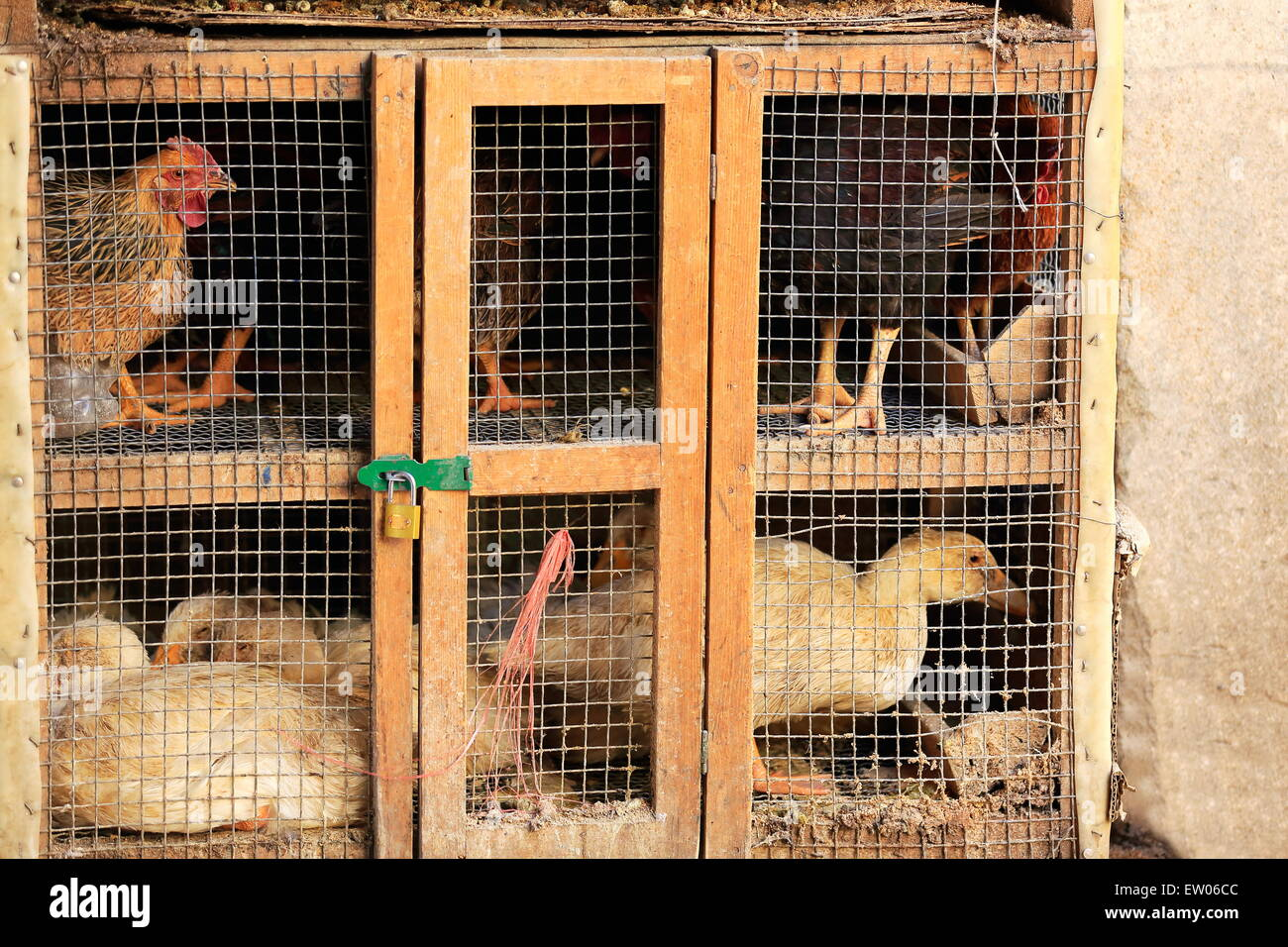 Hens and ducks for sale padlocked in wood and wire grid cage-market in the lower area. Gyantse city and cty.-Shigatse - Stock Image