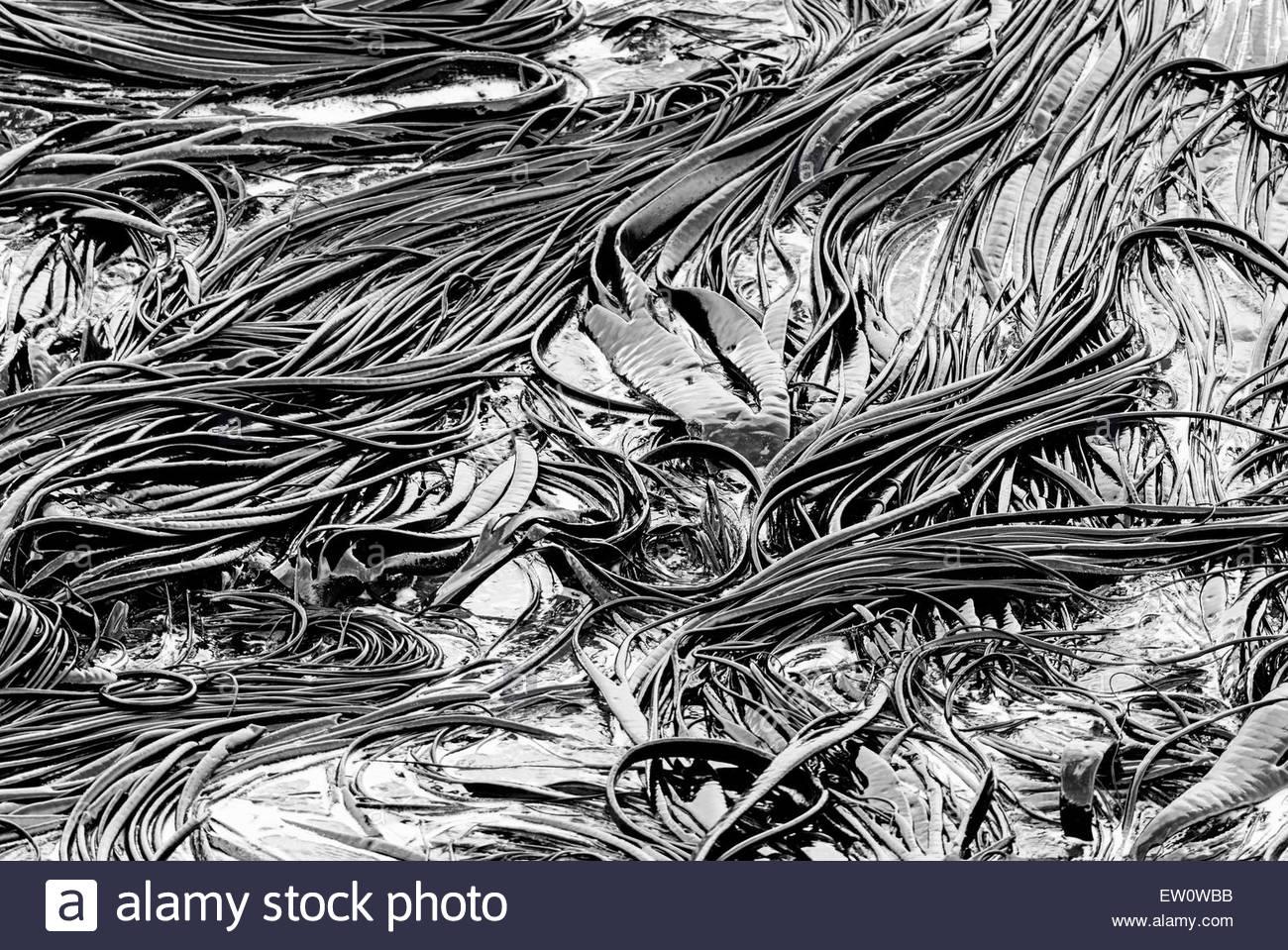 Seaweeds, Otago Peninsula, Dunedine, Otago, South Island, New Zealand, - Stock Image