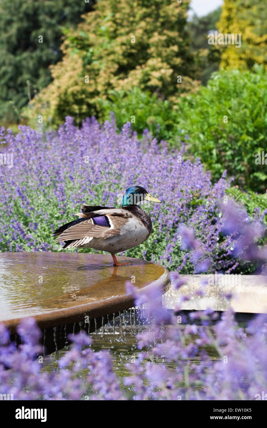 Anas platyrhynchos. Male Mallard duck on a water feature at RHS Wisley gardens. - Stock Image