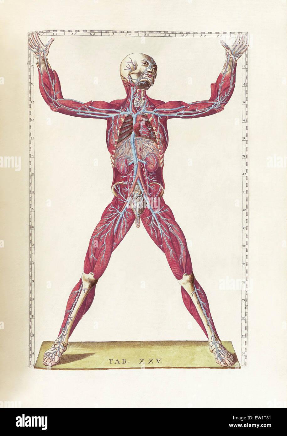 The science of human anatomy by Bartholomeo Eustachi, depicting the ...