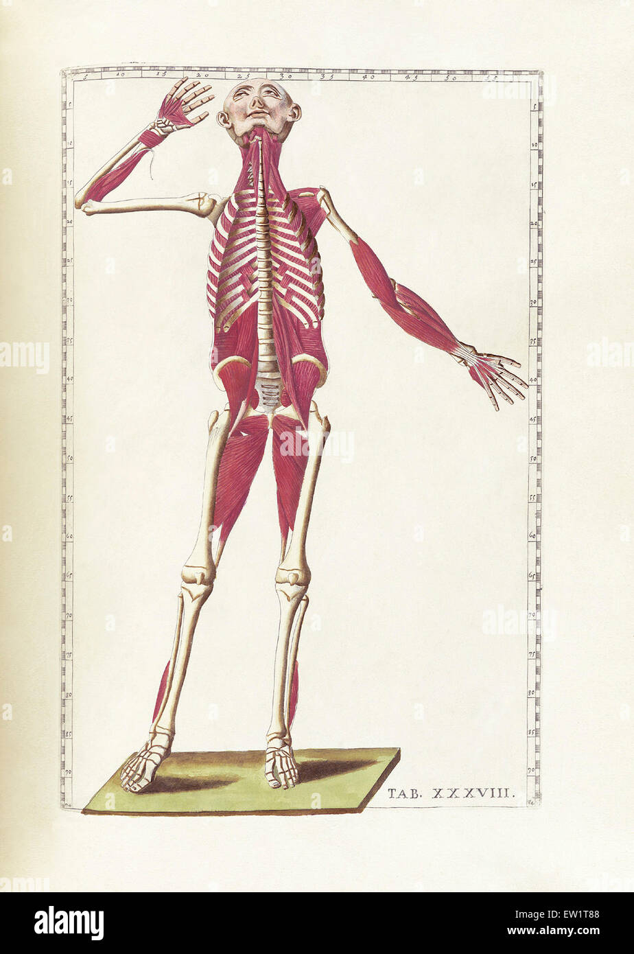 Drawing Anatomy Thigh Stock Photos Drawing Anatomy Thigh Stock