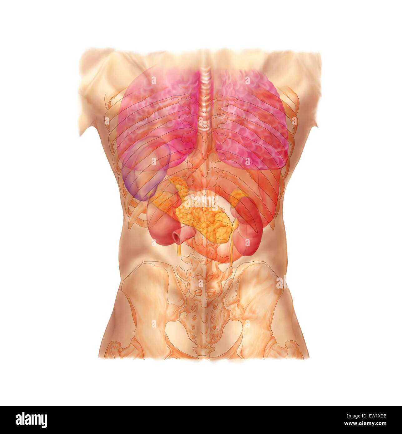 Posterior View Of The Lungs Stock Photos Posterior View Of The